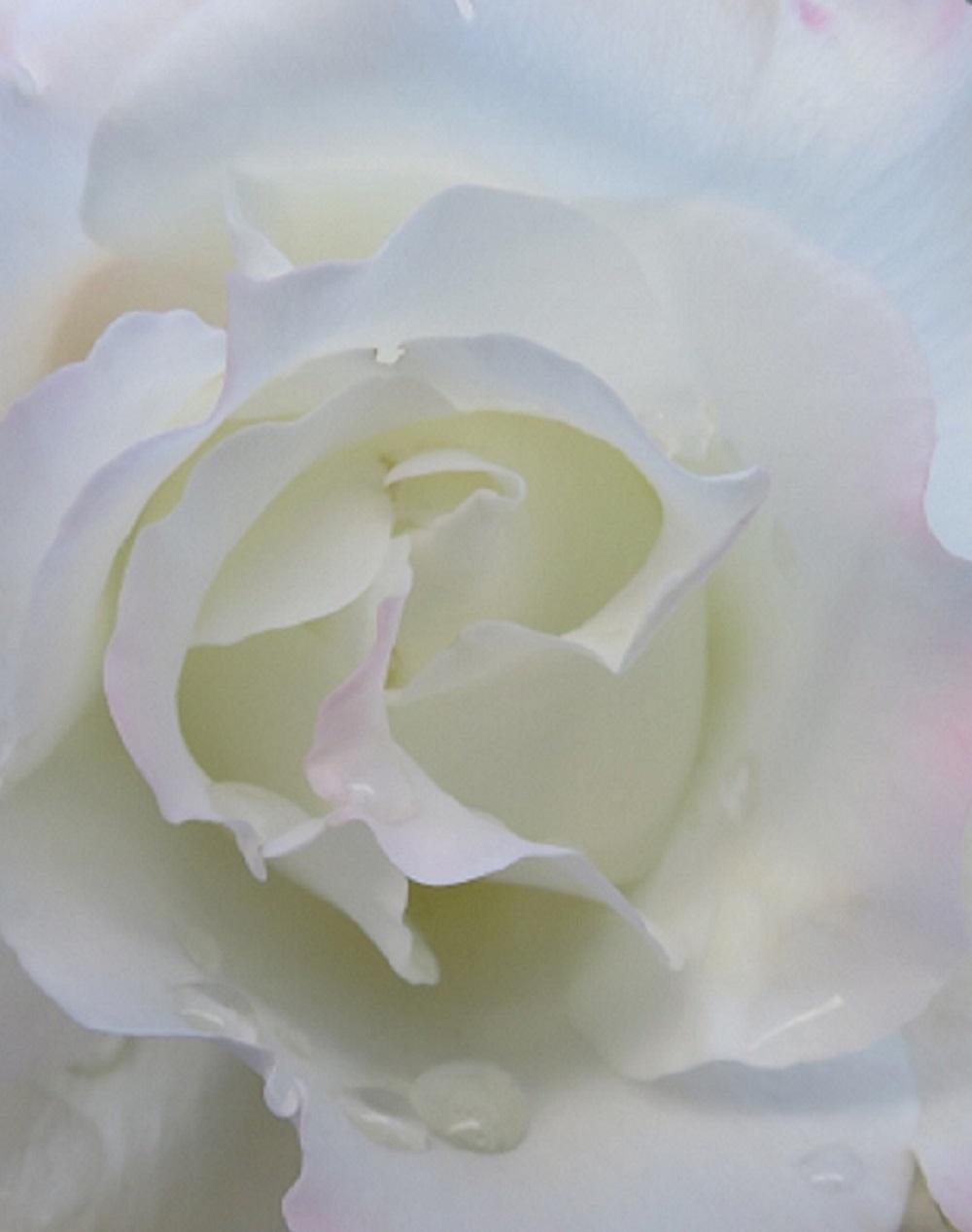 1白薔薇IMG_3498 - コピー