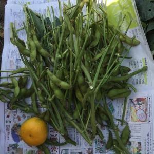 丹波黒豆を収穫