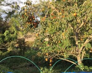渋柿が稔っています