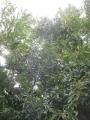 H29.9.28栗の木の様子@IMG_0654