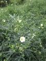 H29.10.13白花ローゼル(細葉)の様子@IMG_0801