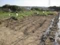 H29.11.11さつまいも収穫後@IMG_1025