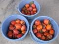 H29.11.11渋柿収穫②@IMG_1027