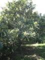 H29.11.11ビワの木の様子@IMG_1014
