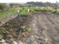 H29.11.13サツマイモ収穫後@IMG_1043