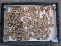 H29.11.16白花ローゼルの種乾燥開始@IMG_1078