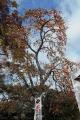たわわに実った柿の木