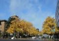神奈川県庁前の公孫樹
