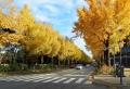 海岸通りの黄葉①