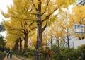 海岸通りの黄葉②