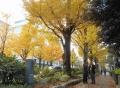 海岸通りの黄葉③