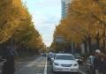 海岸通りの黄葉④