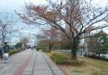 桜の紅葉①