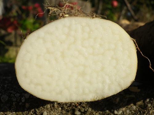 自然薯 2017 11 25-5