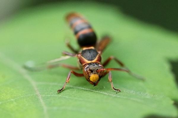 キボシアシナガバチs