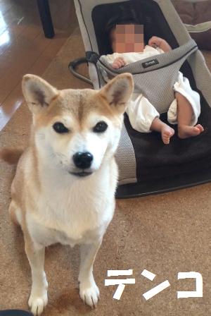 柴犬・テンコ