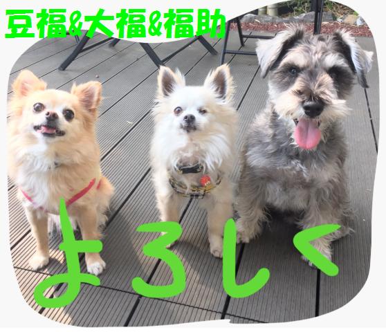 卒業犬の豆福チワワと同居犬の大福チワワ、福助ミニシュナ