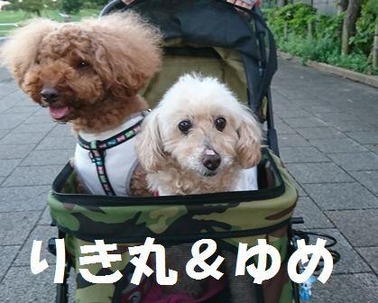 卒犬 トイプー ゆめ(旧ミーナ)先住 トイプー りき丸