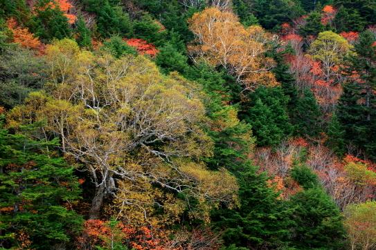 栂と岳樺の競う紅葉の秋