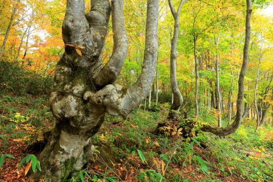 豪雪地帯のブナ林