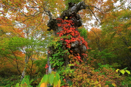 ブナの巨木に紅葉からまる