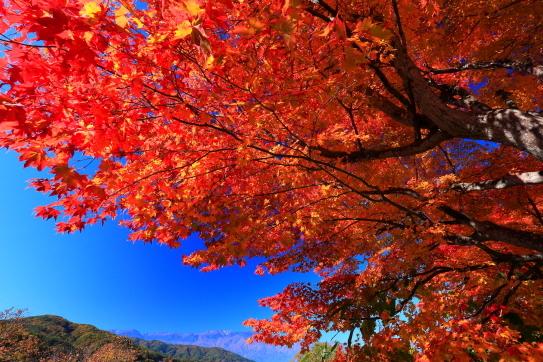 高遠城址公園の真紅のモミジ