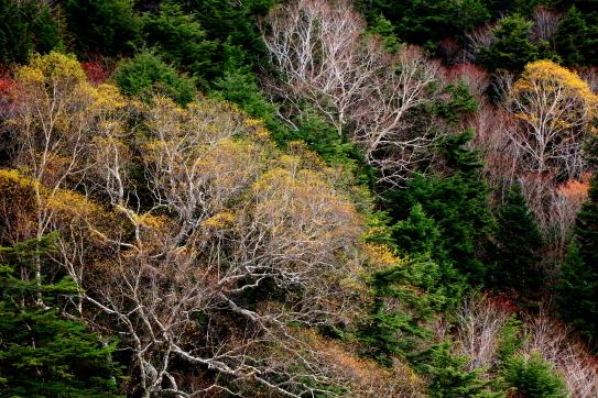 岳樺と黄葉と針葉樹の緑葉