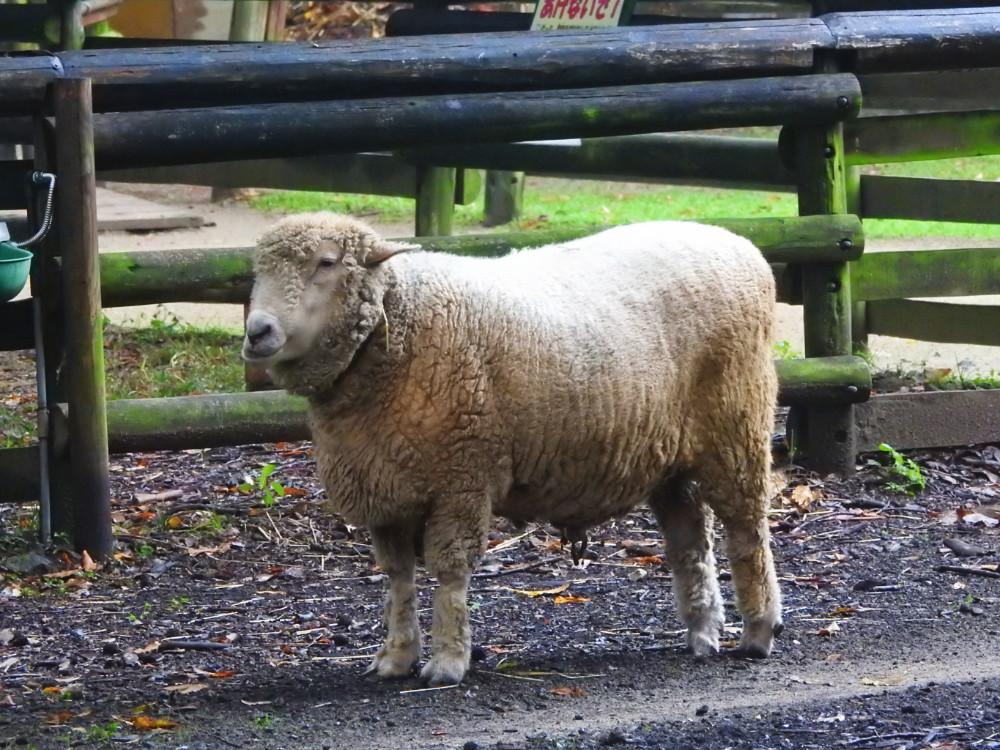 羊DSCN4742