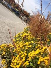 黄色い花はきれいだな