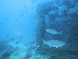 カンパチと漁礁