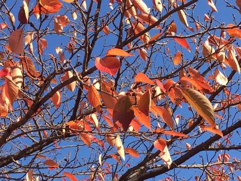 2017-11-03 桜の紅葉2