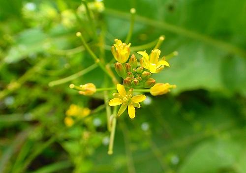 s-黄色の花20171008