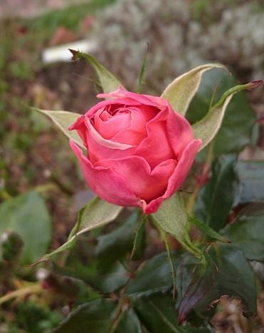 171113薔薇