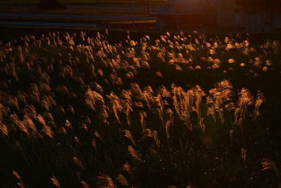 夕陽とススキ-6