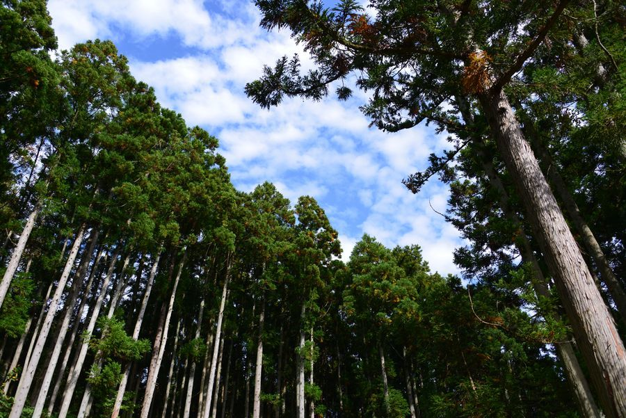 杉林の空-1