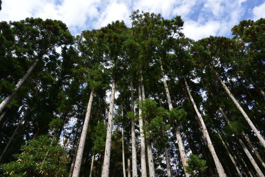 杉林の空-3