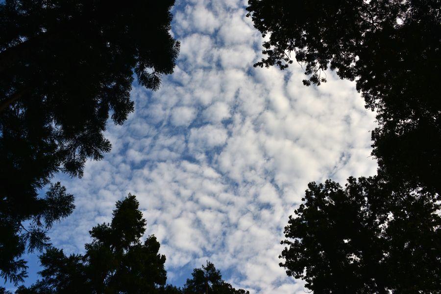 杉林の空-5