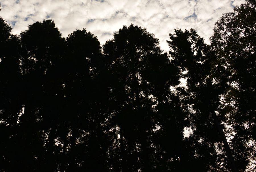 杉林の空-6