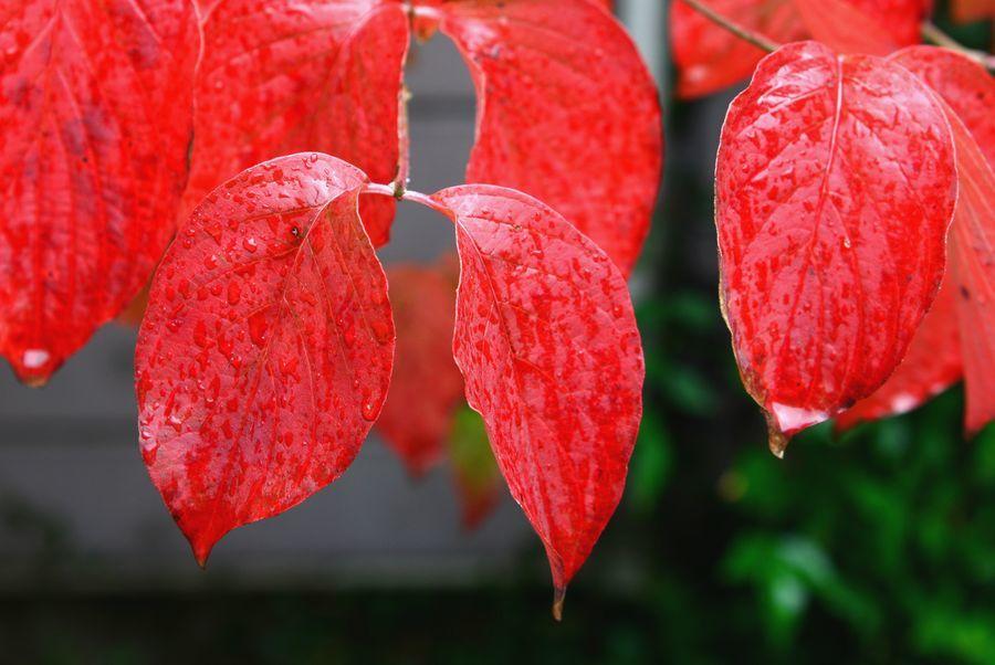 我が家の紅葉-3