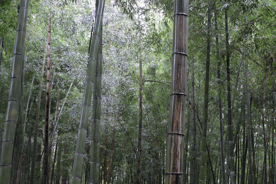 雨の竹林-3