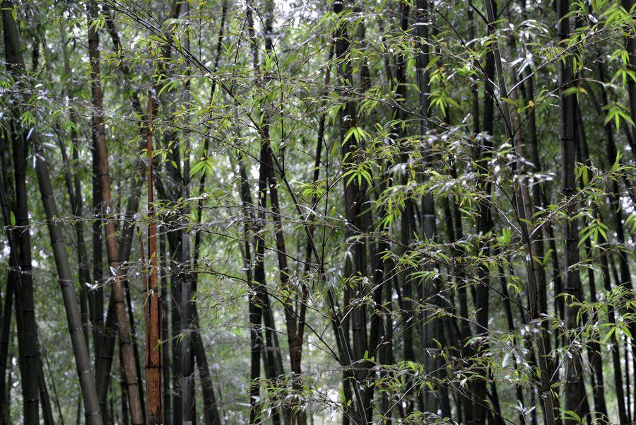 雨の竹林-4