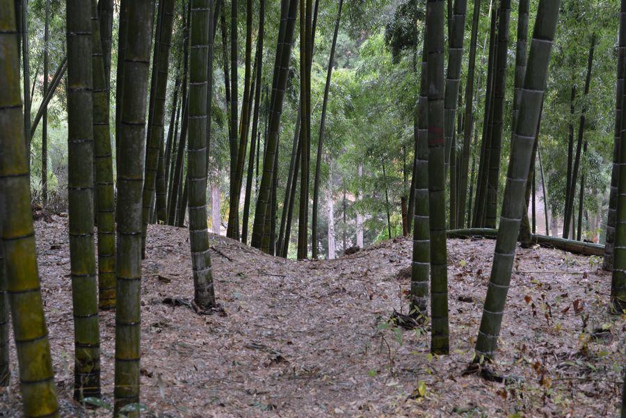 雨の竹林-5