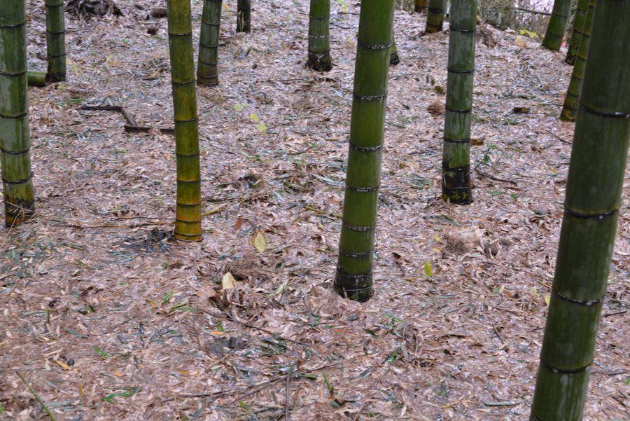 雨の竹林-6