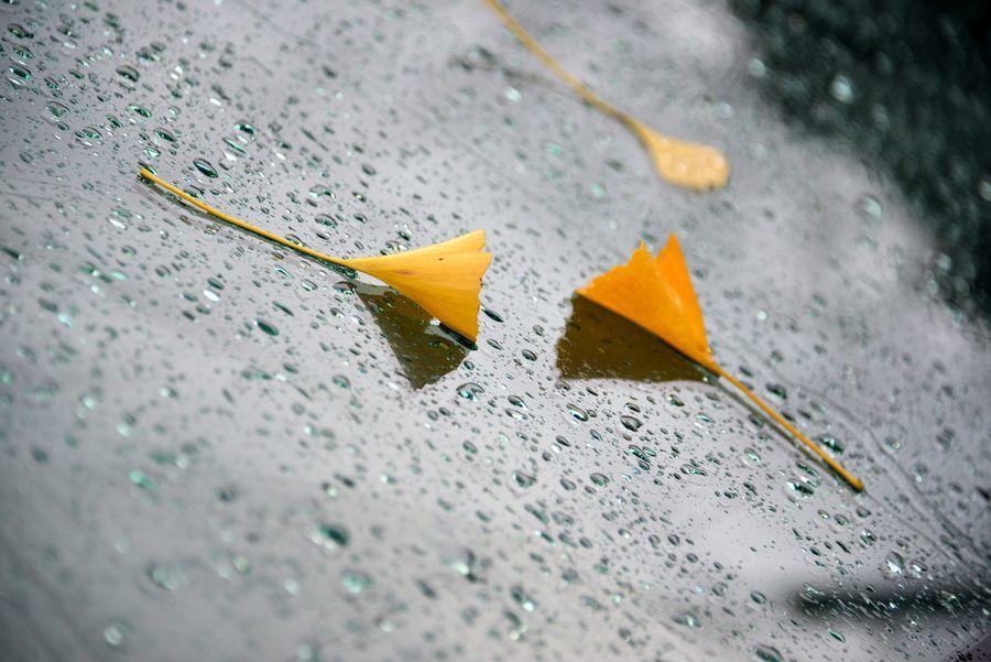 銀杏の落ち葉-5