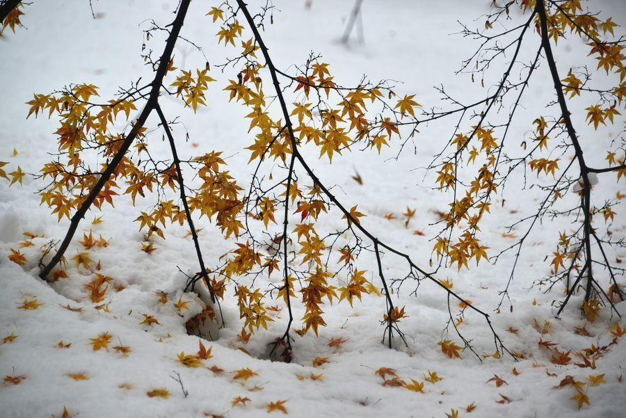 雪に葉-1