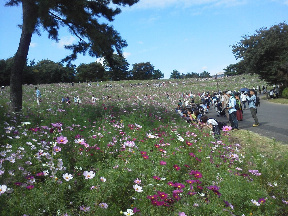 F1000015昭和記念公園10月8日花の丘400万本のコスモス