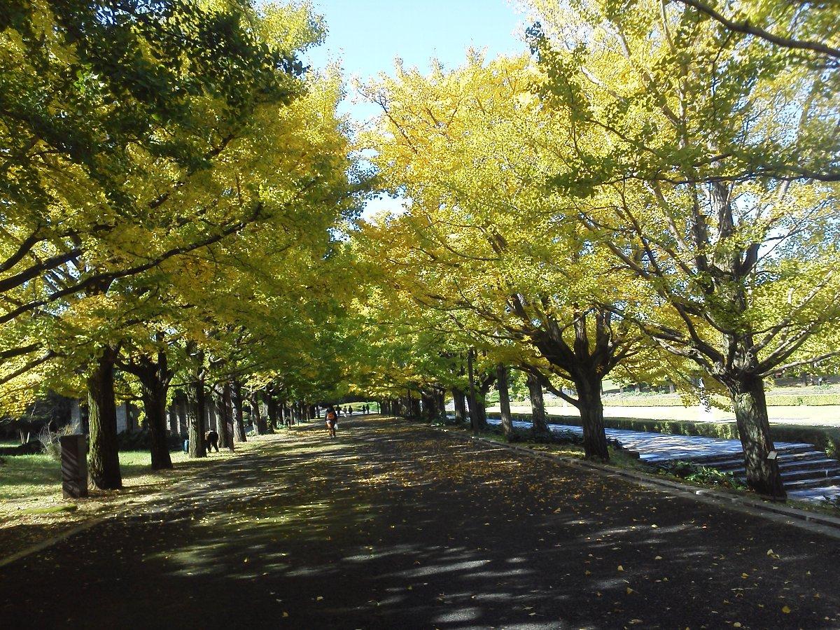 F1000056昭和記念公園10月26日カナール横イチョウ並木