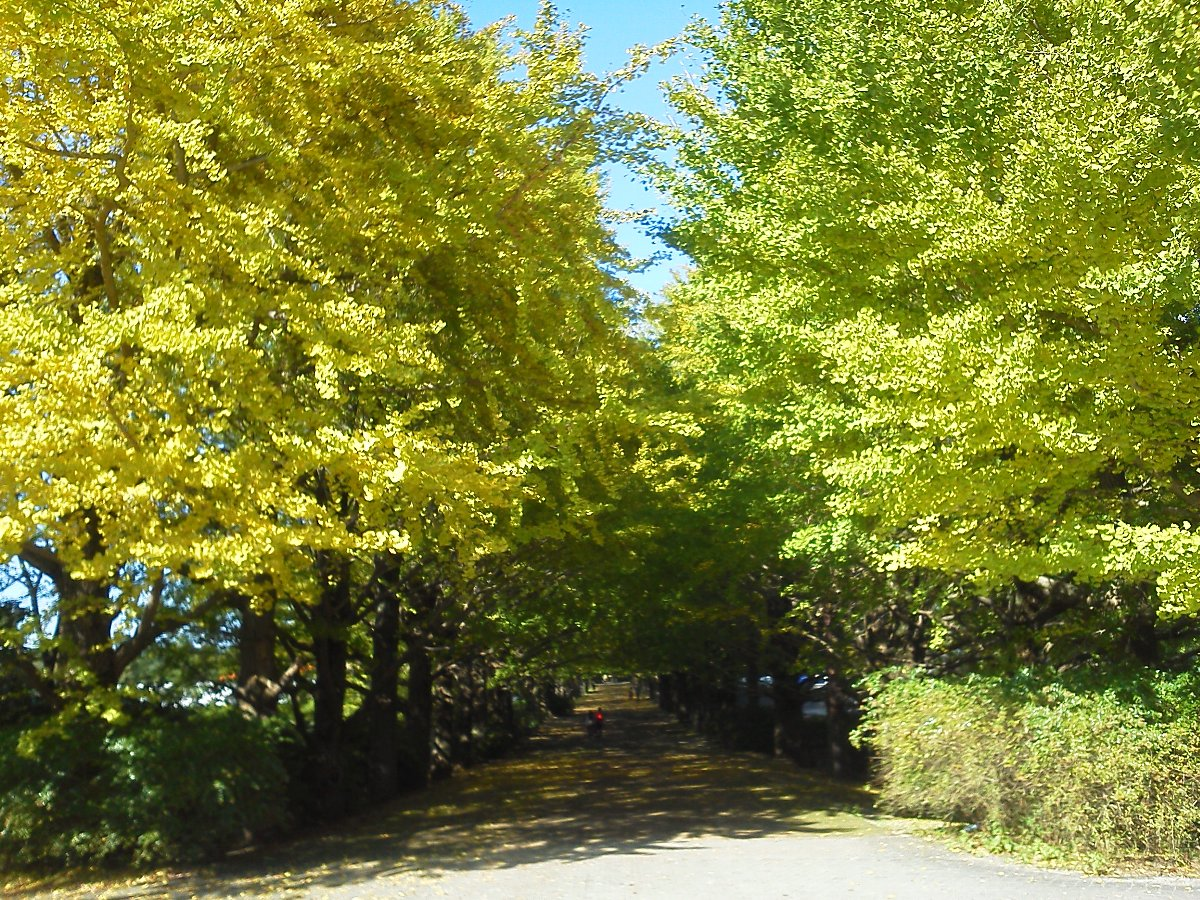 F1000080昭和記念公園10月26日ふれあいイチョウ並木