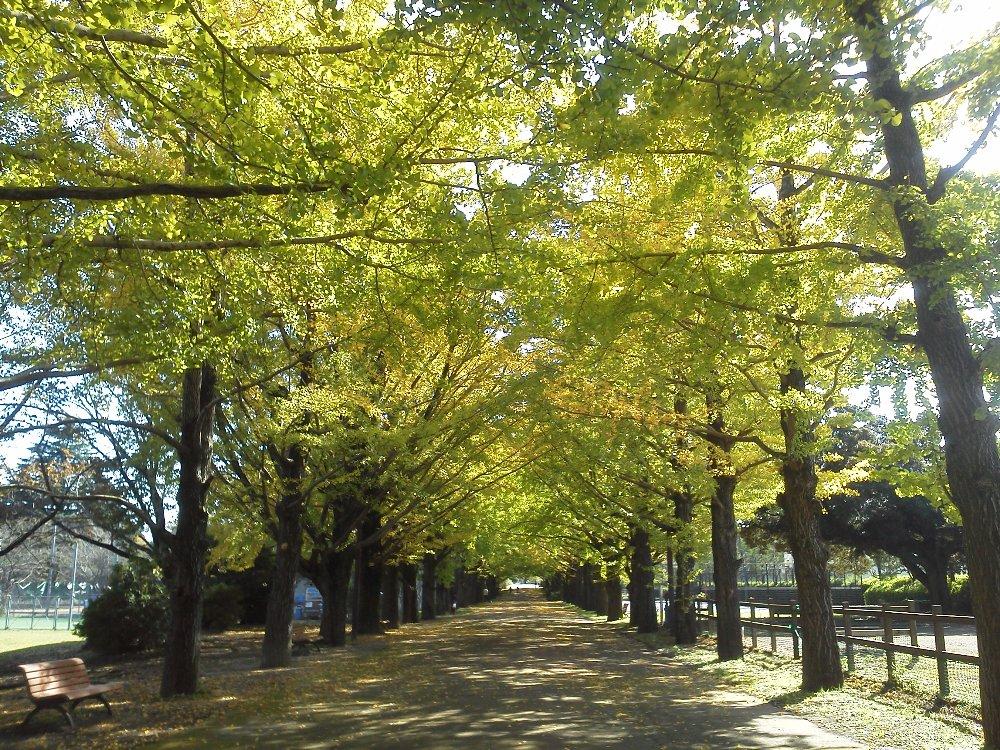 F1000076昭和記念公園10月26日ふれあいイチョウ並木