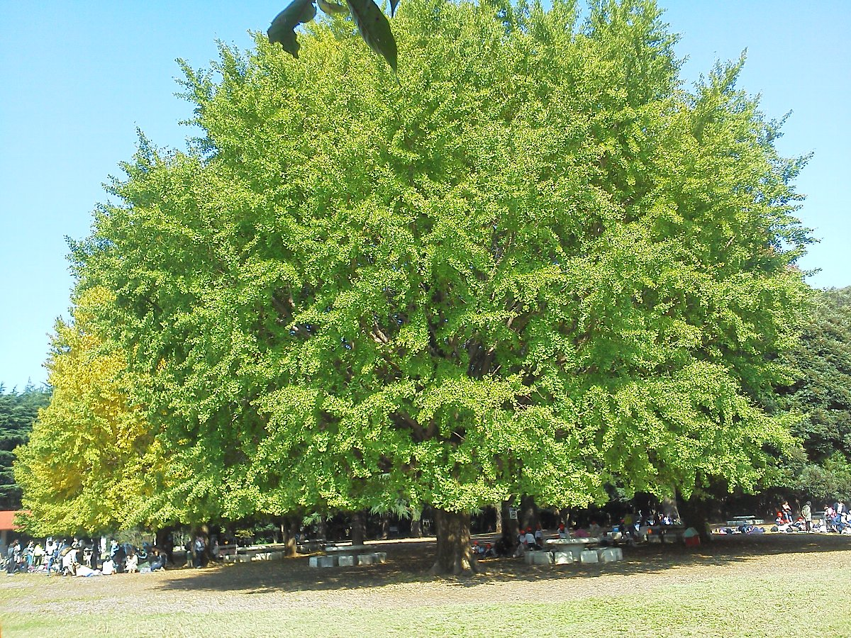 F1000099光が丘公園10月27日芝生広場のイチョウの巨木